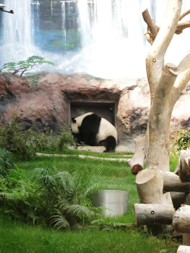 Kai Kai the Panda