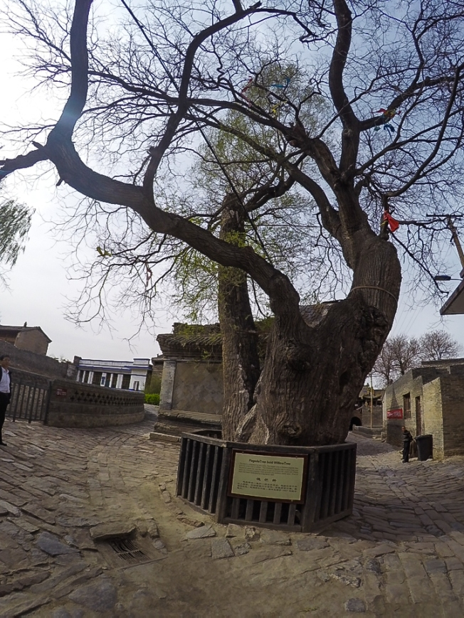 dying pagoda tree, saved by the willow tree planted by the villagers. The two merged and helped one another.